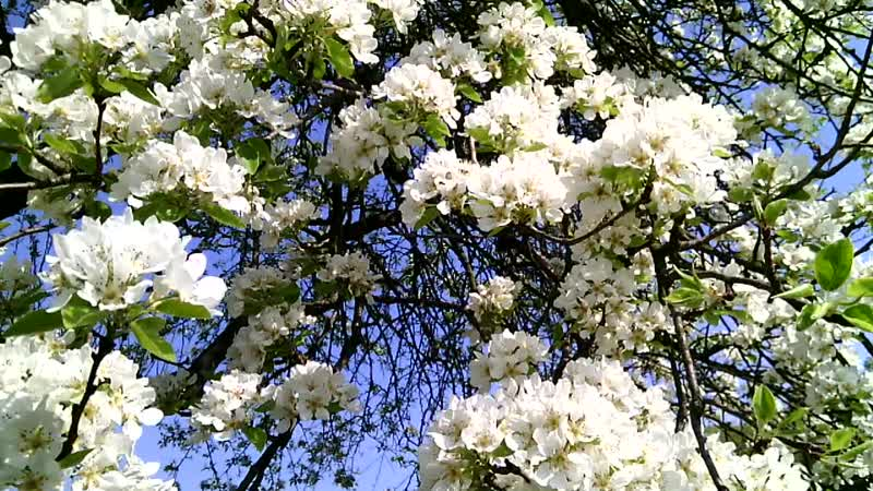 Мої Відеозаписи Весна Цвітіння Груші