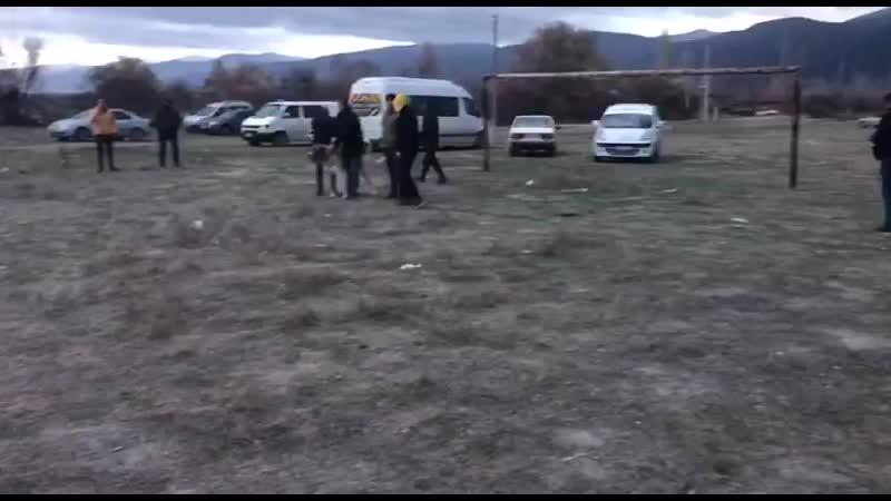 Cakal Kangal VURGUN vs anatolian Kangal Karayilan