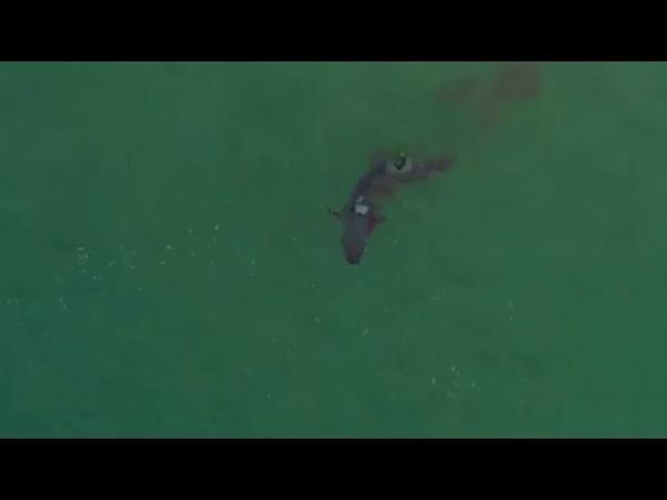Drone flagra momento em que tubarão branco devora foca viva