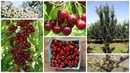 Колоновидная вишня МОРОЗОВКА урожай без хлопот уже на следующий год