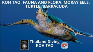 Koh tao, fauna and flora, moray eels, turtle, barracuda with diving center Thailand Diving Pattaya