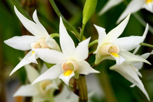 Как продлить цветение орхидеи в доме Семейство благородных орхидей относится к одному из самых многочисленных по количеству видов, сортов и гибридов. Только в природе их насчитывается около 25