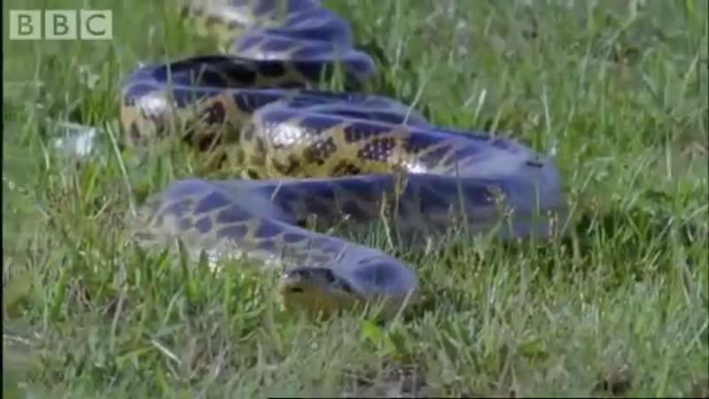 BBC Болота Северной Аргентины Рождение одного из крупнейших змей на планете Анаконда