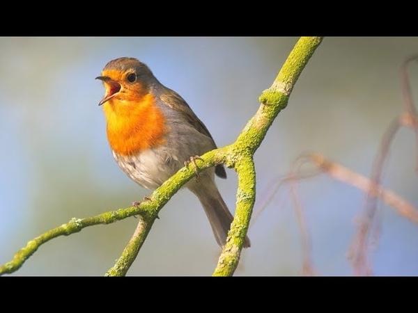 Лечение птичьим щебетом: Пение птиц в роще. Гармонизация психики и всех систем организма