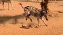 Sợ thật đây là lý do ngựa vằn là loại động vật ngu ngốc nguy hiểm nhất châu phi