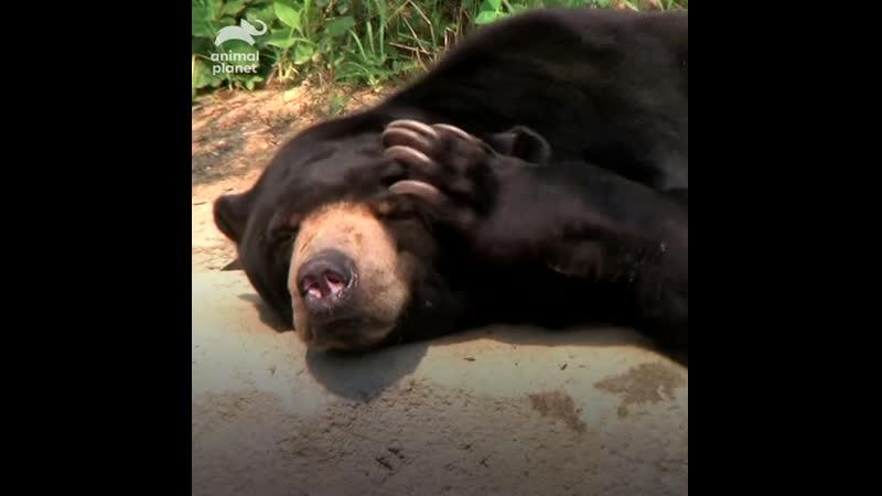 Малайские медведи копируют мимику Animal Planet