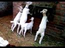 Третий день отъёма козлят