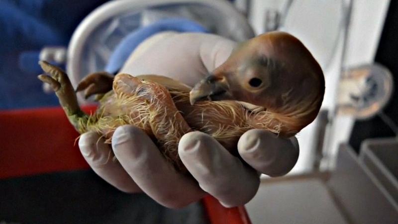 Птенцы калифорнийского кондора появились в зоопарке Мексики (новости)