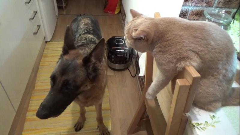 Как кошка с собакой. Овчарка и кот в квартире друзья на всю жизнь