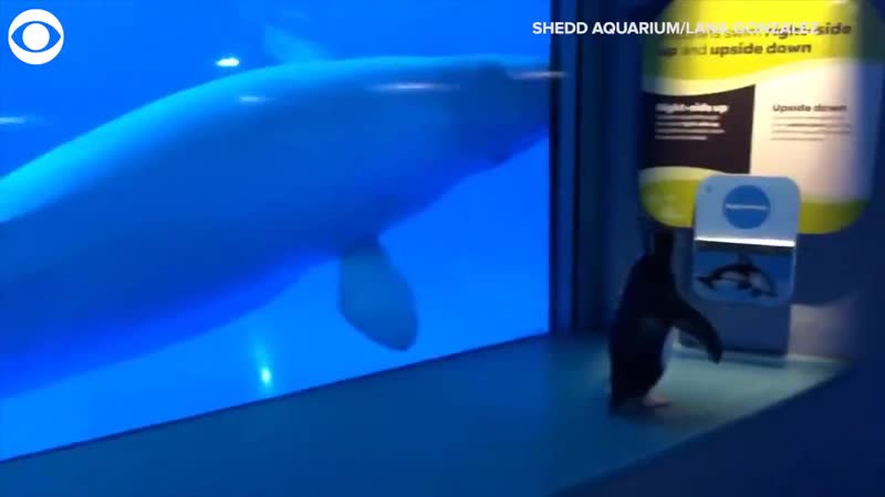 Whale sucks dick in aquarium