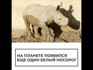 В зоопарке Сан-Диего появился на свет детеныш белого носорога