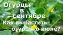 Огурцы в СЕНЯБРЕ Как вырастить поздние огурцы Выращивание огурцов в июле!