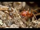 Рабство среди насекомых. Муравьи рабы и их рабовладельцы.