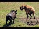 Siêu Khỏe Vật Lộn Heo Rừng Dũng Mãnh Đối Đầu Linh Cẩu Vua Sư Tử chó hoang khét tiếng Sinh Tồn