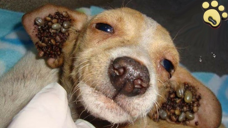 Rescue Owner Surrender Puppy Covered With Thousand of Ticks