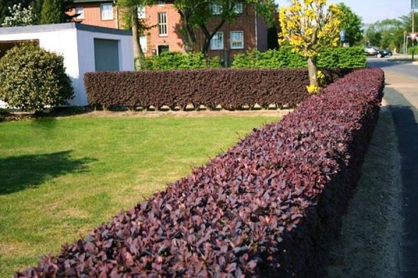 Цветущие кустарники для живой изгороди.