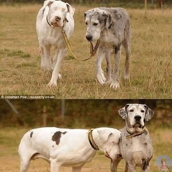 Ослепший от старости  пес и его друг-поводырь