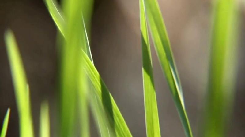 Футаж для видеомонтажа Зелёная Трава