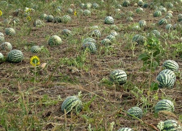 5 хитростей, которые помогут вырастит бахчу
