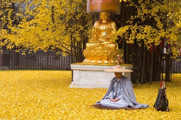 В Китае опадают листья с 1400-летнего дерева гинкго.