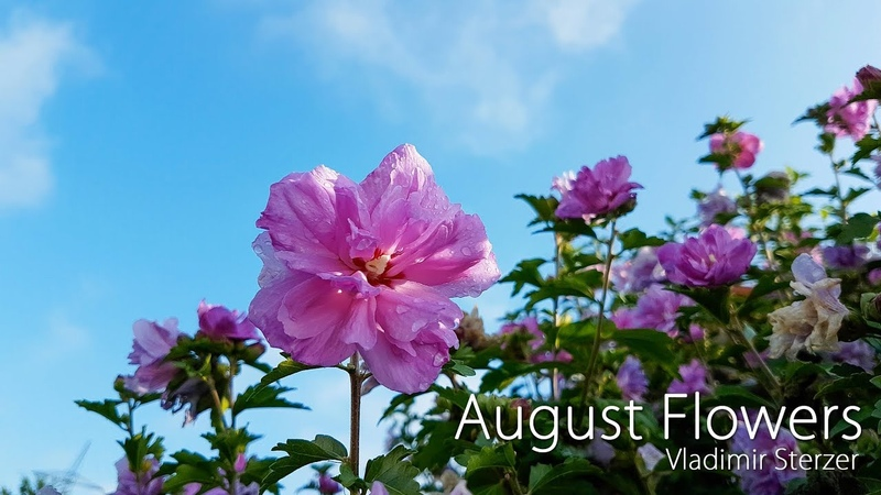 August Flowers ✶ My answer for destroyed Siberia ❁❁❁❁