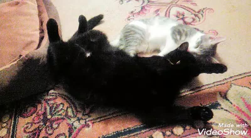 кошки очарование мое