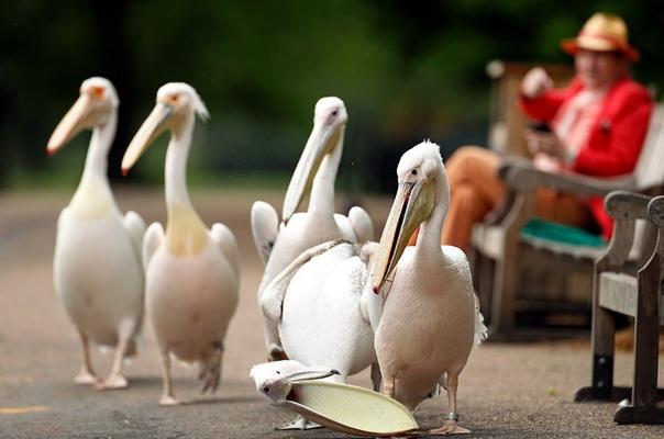 Пеликаны разгуливают по парку Сент-Джеймс в Лондоне, Великобритания. Наши дни.