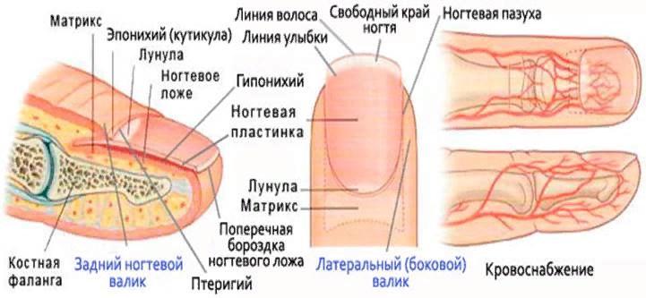 О каких болезнях можно узнать по ногтям., изображение №4