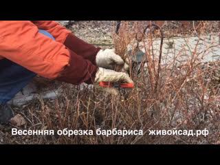 Весенняя обрезка барбариса