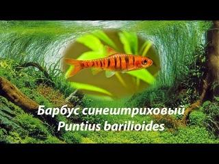 Барбус синештриховый / Puntius barilioides #Puntiusbarilioides #Ангольскийбарбус
