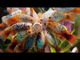 Самое интересное об  аквариумных рыбках  Современные аквариумные рыбки