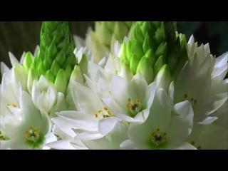 Как распускаются цветы – потрясающее видео (2)