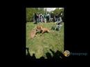 Волк против собак.mp4
