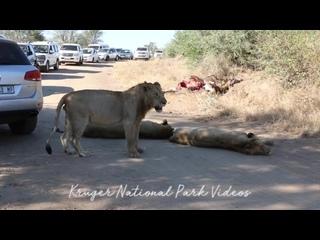 В ЮАР львы остановили движение автомобилей и вызывали огромную пробку в заповеднике