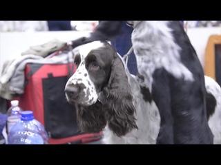 Английский спрингер-спаниель - идеальный друг и рабочая собака