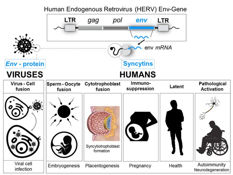 Proteina spike del vaccino a mRNA, sincitine umane e soppressione della fertilita…, immagine №2