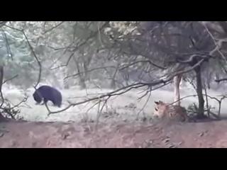 Тигр подкрался к медведю