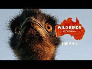 Дикие птицы Австралии: Тайная жизнь Эму