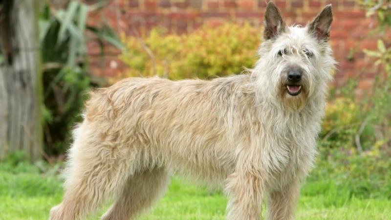 Арденнский бувье описание редчайшей бельгийской породы собак