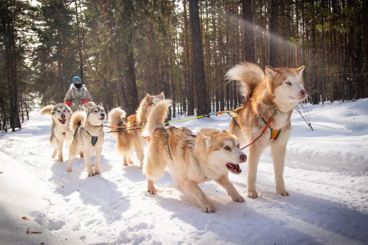 Афиша Самара Катание на упряжках и лыжная прогулка 17, 30.01