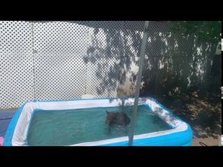 Медведи заходят поплавать на заднем дворе    ViralHog
