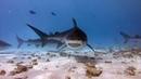 Дайвинг. Мальдивы. Fuvahmulah. Tiger shark zoo.