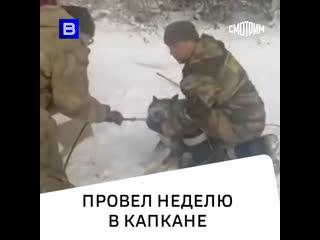 """Неделю мучился с капканом на лапе пёс Серый в Иркутске. Спасли его сотрудники питомника """"К-9"""""""
