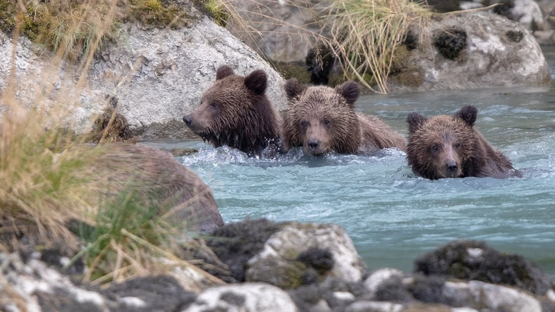Haines Alaska Grizzlies Brown Bears many many playful cubs!