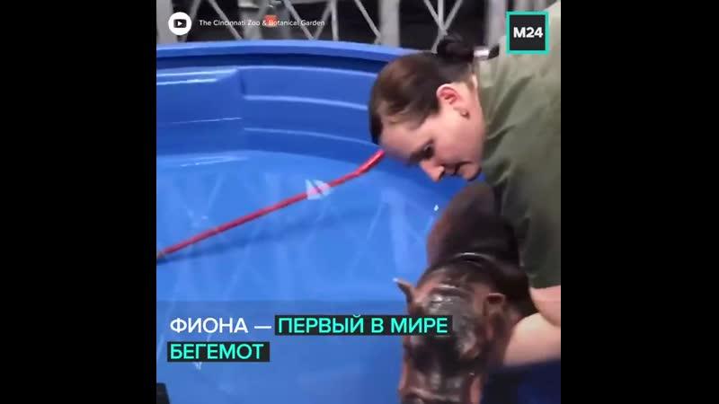 Бегемотиха Фиона звезда зоопарка Цинциннати Москва 24