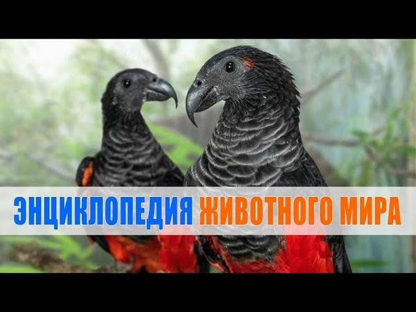 Орлиный попугай попугай дракула Энциклопедия животного мира