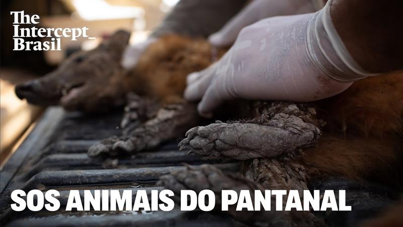 A busca pelos animais feridos em meio ao fogo no Pantanal