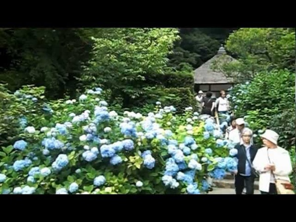 Hydrangeas at Meigetsu in Temple Kamakura 紫陽花 鎌倉 明月院