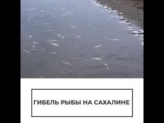 Гибель рыбы на Сахалине