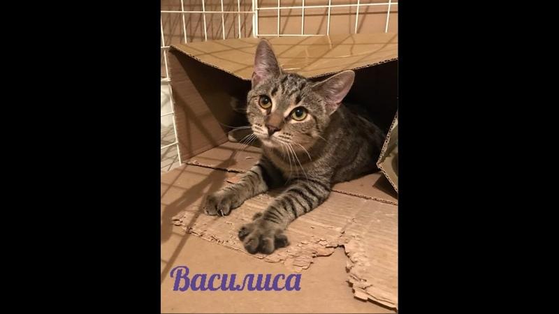 котенок Василиса ищет дом Ласковая игривая Приют Петербург 8911 019 53 63